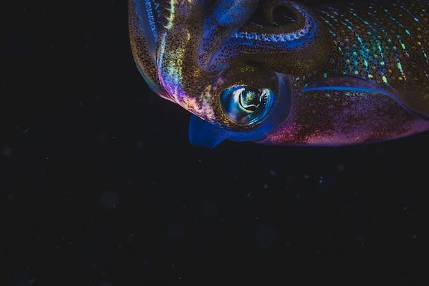 Calamar colorido natación en la oscuridad
