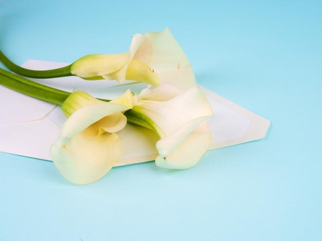 Calla flores zantedeschia sobre fondo azul con sobre, copia espacio