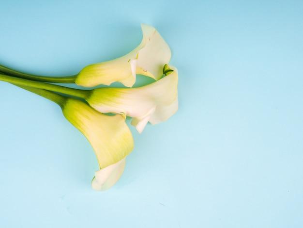 Calla lily flowers disparó en el estudio sobre un fondo azul, copia espacio postal