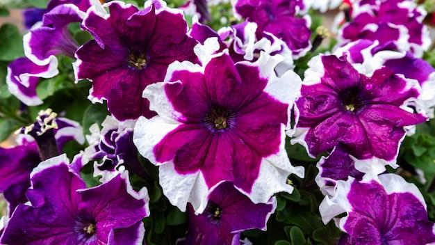 Cama de flores de petunia, púrpura