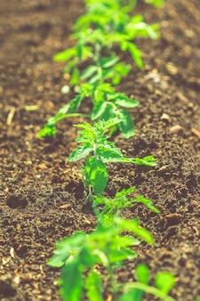Cama de jardín con brotes de tomate