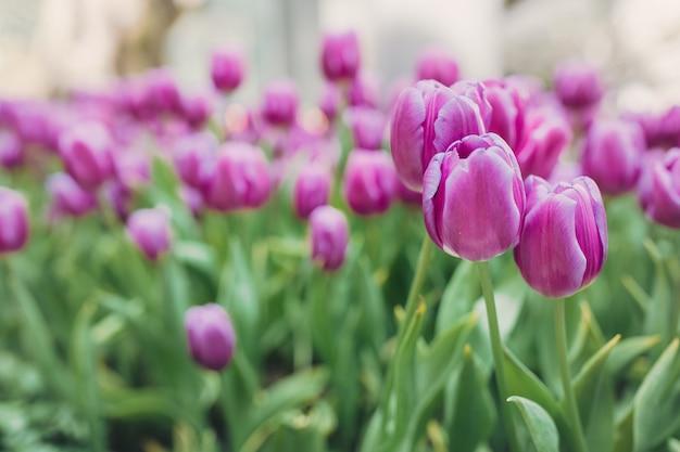 Cama de tulipanes rosas