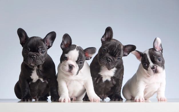 Camada de cachorros de bulldog francés