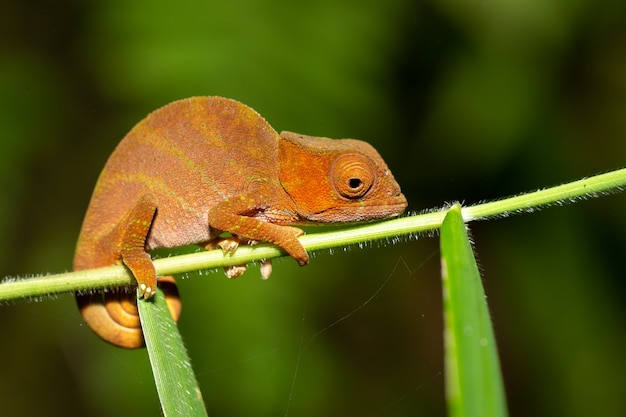 Camaleón colorido en un primer plano en la selva tropical de madagascar.