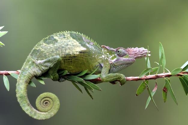 Camaleón fischer closeup en árbol camaleón fischer caminando sobre ramitas