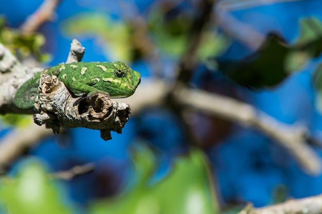 Un camaleón mediterráneo, chamaeleo chamaeleon, descansando sobre una ramita de algarrobo con cola rizada