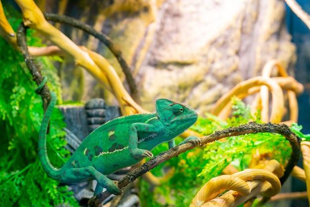 Camaleón verde joven en una rama. linda mascota. coloración protectora del animal.