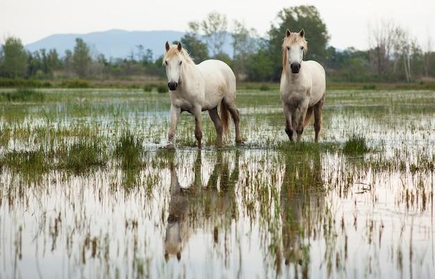 Camargue caballos