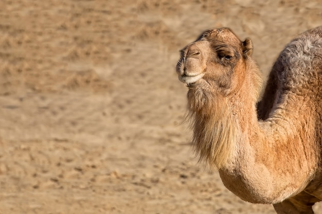 Camello descansando en un claro, un retrato