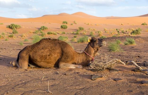 Camello en el desierto del sahara, marruecos
