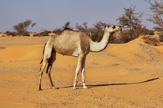 Camello en el desierto del sahara en sudán, áfrica