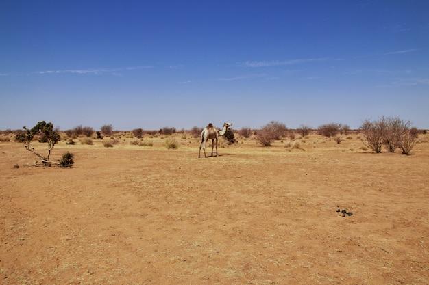 Camello en el desierto del sahara del sudán