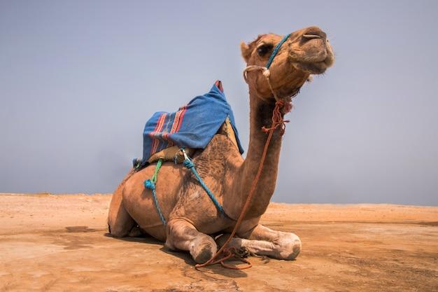 Camello dromedario relajante