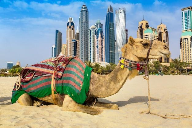 Camello en dubai, emiratos árabes unidos.