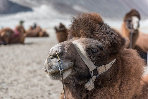 Camello en hunder dunas de arena con luz natural.