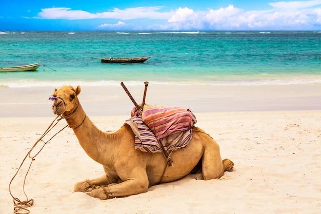 Camello en la playa de arena africana diani, océano índico en kenia