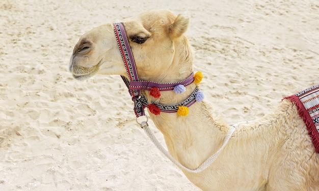 Camello en la playa de dubai