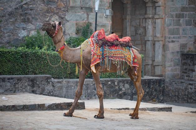 Camello vistoso colorido