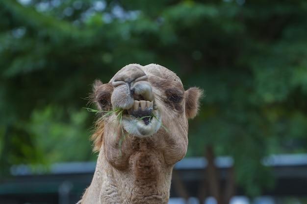 Camellos comen heno en una granja de camellos tailandia