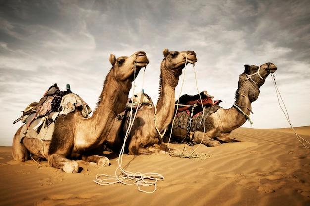 Camellos descansando en el desierto de thar, rajasthan, india