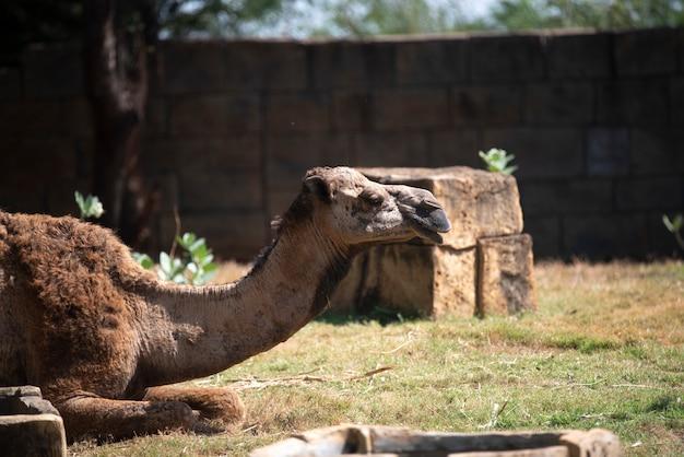 Camellos descansando en el desierto.