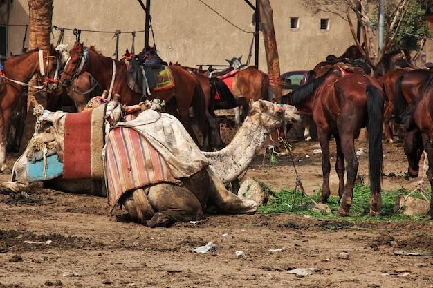 Camellos en egipto, giza, el cairo