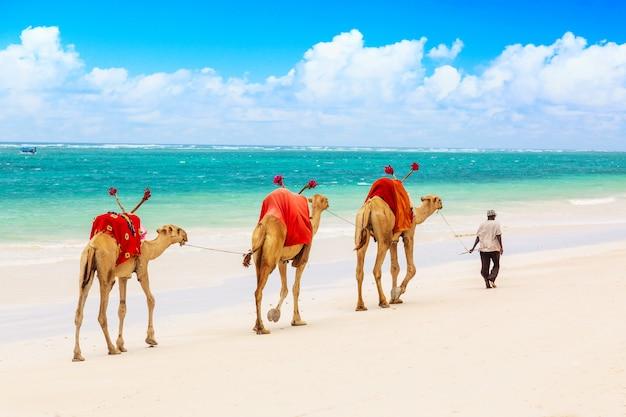 Camellos en la playa de arena africana diani, océano índico en kenia