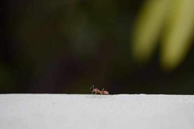 Caminata hormiga roja en la pared en la oscuridad