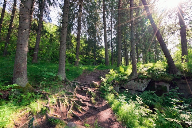 Camino entre abetos perennes en el bosque