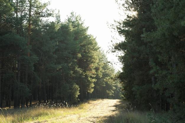 Camino de arena en bosque de pinos. hermoso día soleado