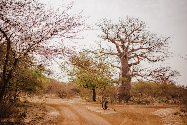 Camino de arena en safari. selvas de baobabs y arbustos en senegal, áfrica. vida salvaje en la reserva bandia. clima cálido y seco.