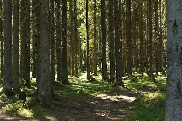 Camino en un bosque de abetos mágico con musgo y raíces.