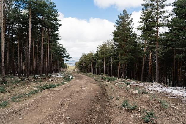 Camino en un bosque de pinos durante el día.