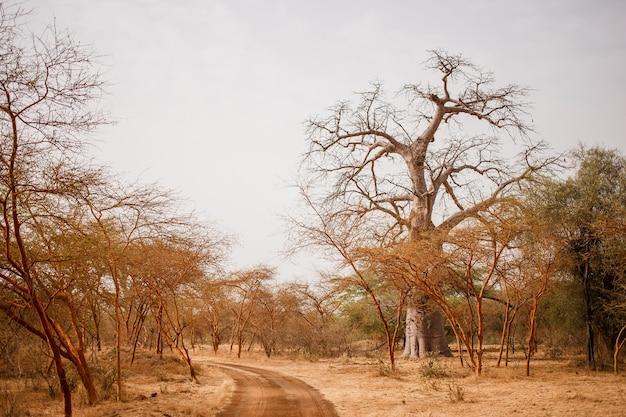 Camino en camino arenoso. vida salvaje en safari. selvas de baobabs y arbustos en senegal, áfrica. reserva de bandia. clima cálido y seco.