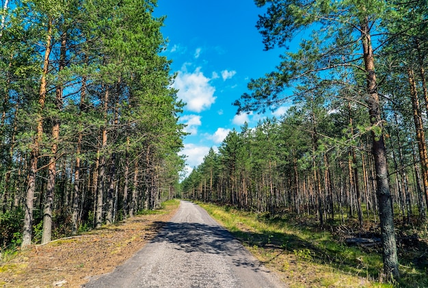 Camino forestal entre pinos en un día soleado. región de leningrado.