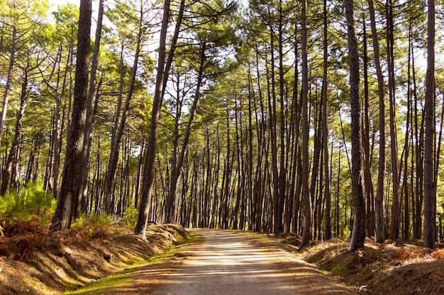 Camino o camino de montaña a través del bosque de pinos día soleado con sombras fuertes futuro incierto