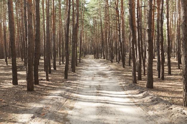 Camino rural del bosque de pino