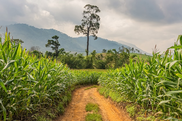 Camino rural, campos de maíz y cielo azul oscuro