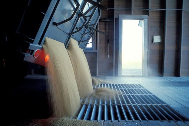 Camión volcando trigo en la parrilla