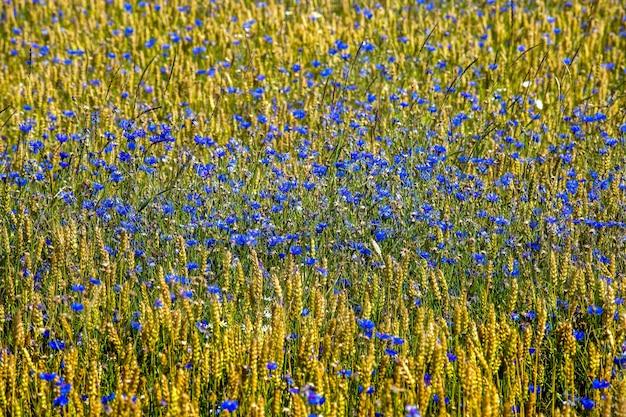Campo de acianos. flores azules
