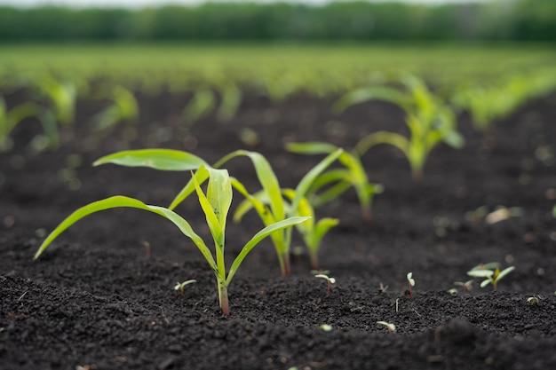 Campo de agricultores con pequeños brotes jóvenes de maíz