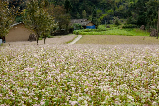 El campo del alforfón florece en ha giang, vietnam. ha giang es famoso por el parque geológico global de la meseta dong karst karst.