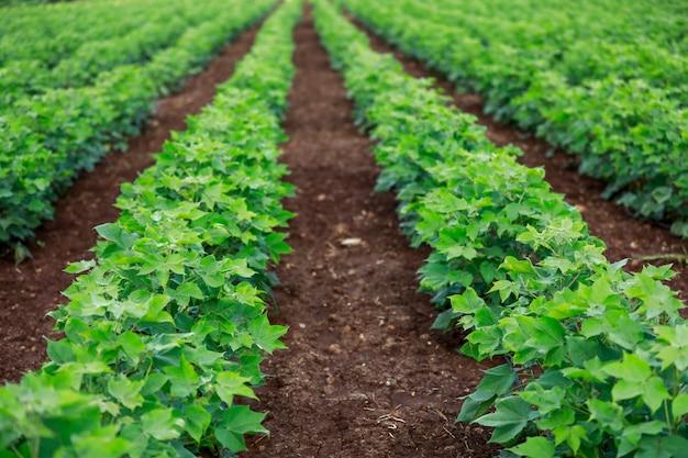 Campo de algodón verde en la india