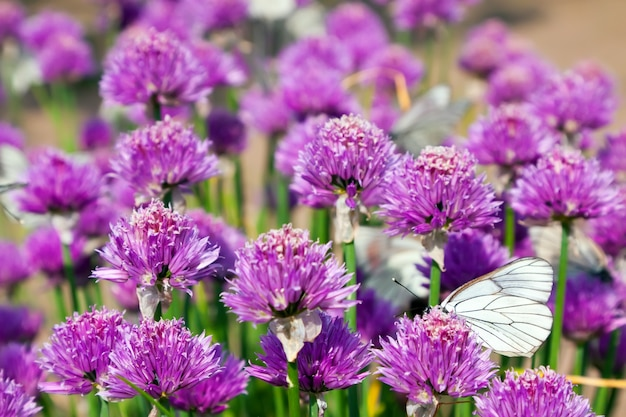 Campo allium con mariposas