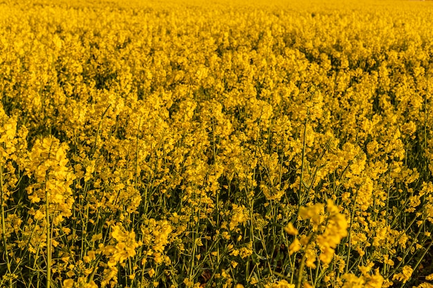 Campo amarillo de colza en la noche