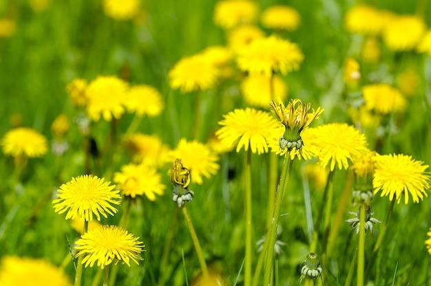 Campo amarillo de dientes de león