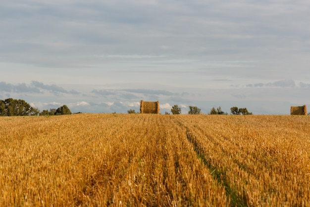 Campo amarillo con pajares después de la cosecha.