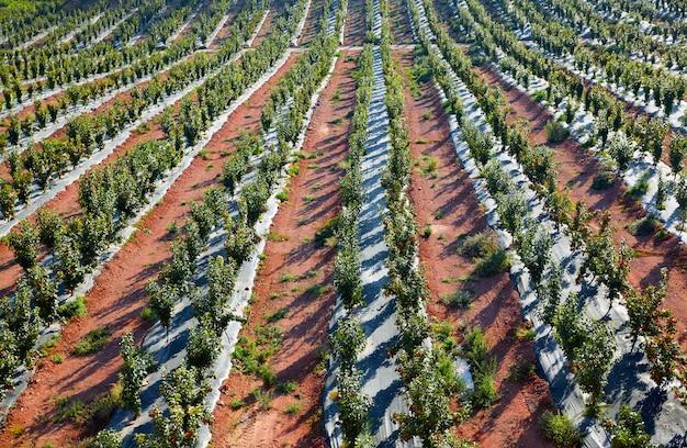 Campo de árboles de caqui en una fila en españa