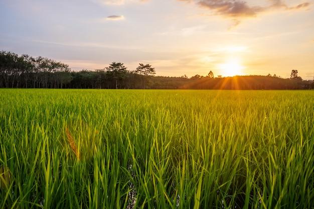 Campo de arroz con amanecer o atardecer y destello de rayo de sol