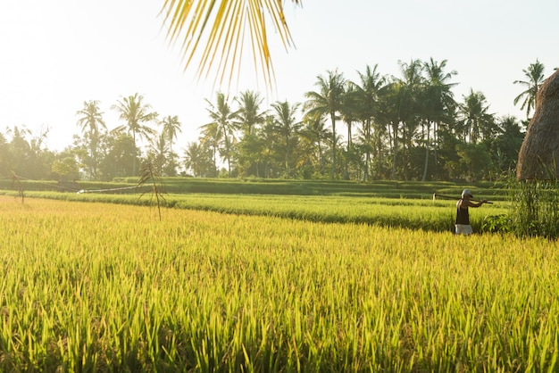 Campo de arroz en bali
